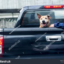 stock-photo-dog-on-black-pick-up-truck-back-view-1157831212